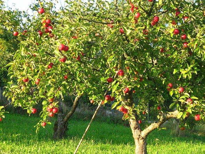 פרי בגינה - עיצוב גינה - סוגי עצי פרי מומלצים