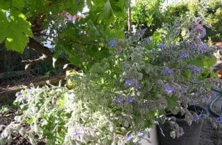 תבינים כשילוב בעיצוב גינות 320x210 - צמחי תבלין מומלצים לגינה שלכם