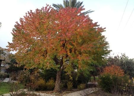 השעווה - עצי נוי בהקמת הגינה הפרטית