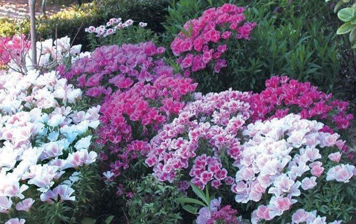עונתיים לגינה 2 - צמחים עונתיים בגינה
