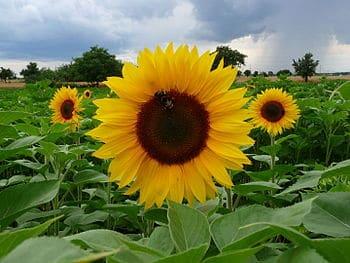 חמניה בקיץ