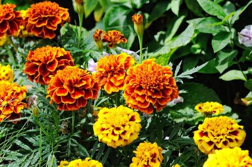 עונתי בקיץ - פרחים מומלצים לעונת הקיץ