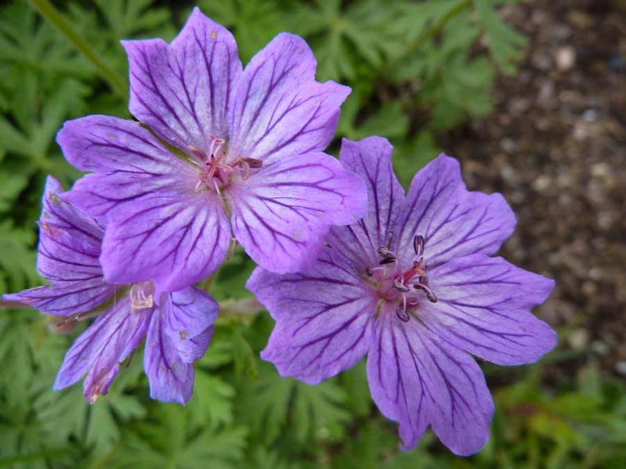פלרגון - פרחים מומלצים לעונת הקיץ