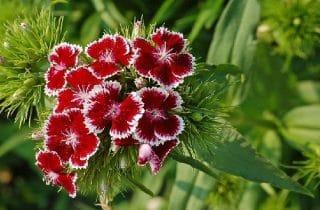 פרחי קיץ